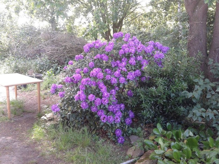 Blooming Rododendron Bush in my Garden.