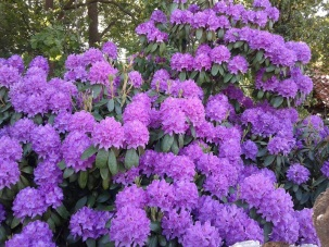 Blooming Rododendronbush in my Garden.